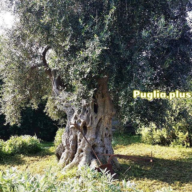 Hunderte Jahre alte Olivenbäume gibt es in Apulien allerorts. Beeindruckend schön! Warum Sommerurlaub in Apulien so besonders toll ist: neuer Artikel auf der Website #apulien #sommerurlaub #oliven #olivenbaum #natur #naturschönheit #naturwunder