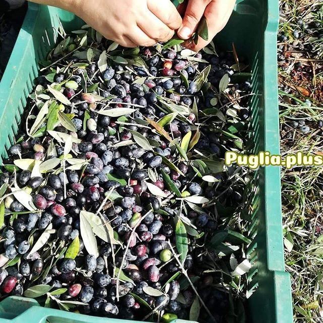 Schon mal Oliven geerntet? Bald geht es wieder los in Apulien. #olivenErnte #herbst #apulienurlaub #extravergine #racolta #biooliven