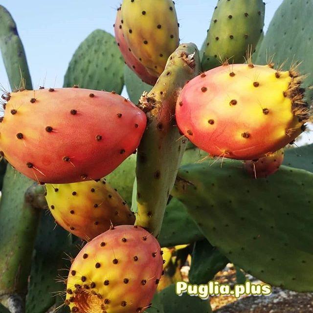 Wir lieben Kaktusfeigen. Der Feigenkaktus ist in Apulien überall zu finden - weil er wild wächst, weil er gepflanzt wurde, als Deko. #kaktusfeige #feigenkaktus #opuntia #ohrenkaktus #apulien #delikatessen #genuss