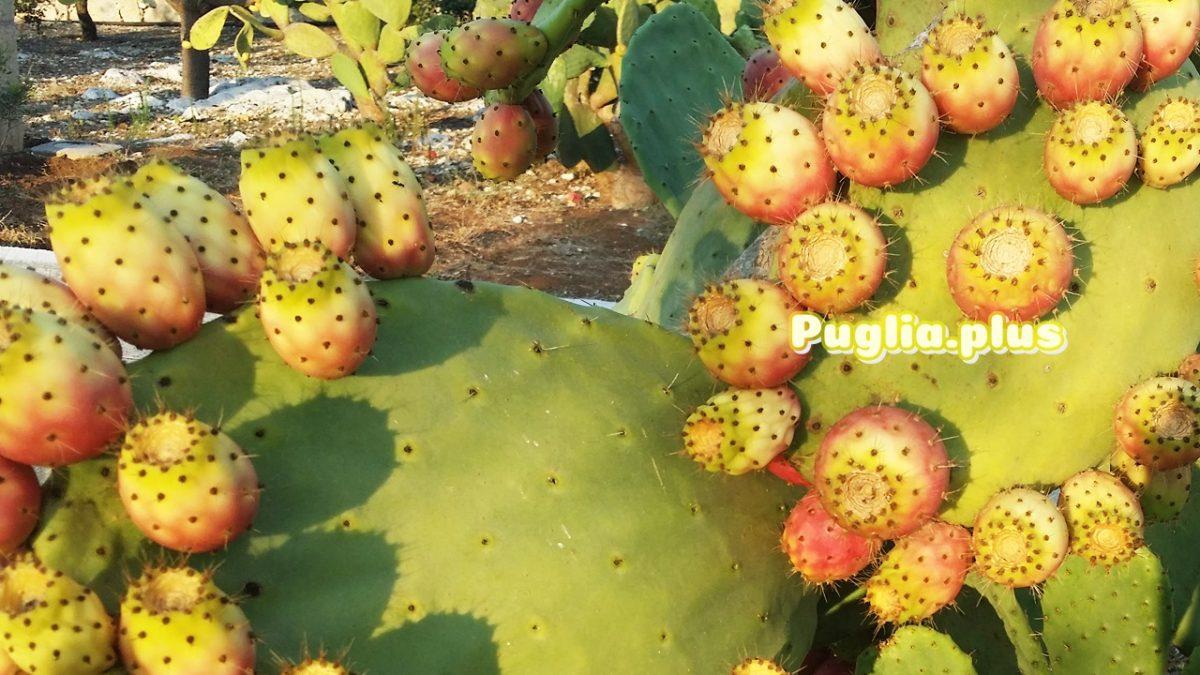 Kaktusfeige – gesunde, leckere Frucht aus Apulien