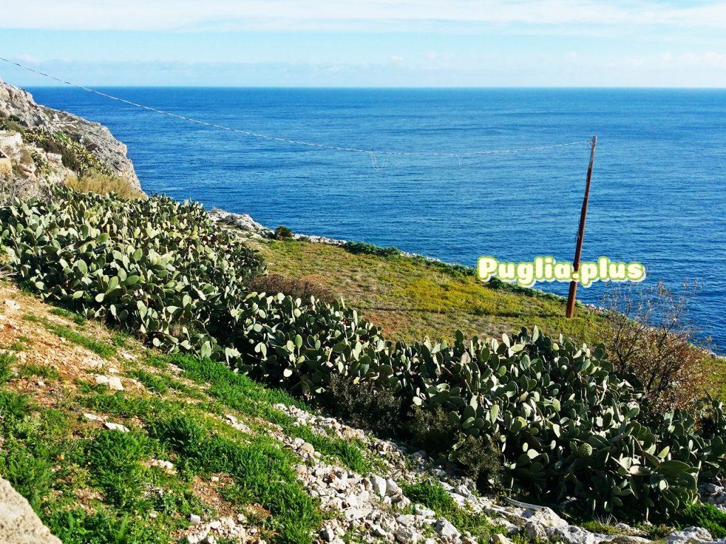 Santa Maria ddi Leuca - Kaktusfeigen an der Adria-Küste
