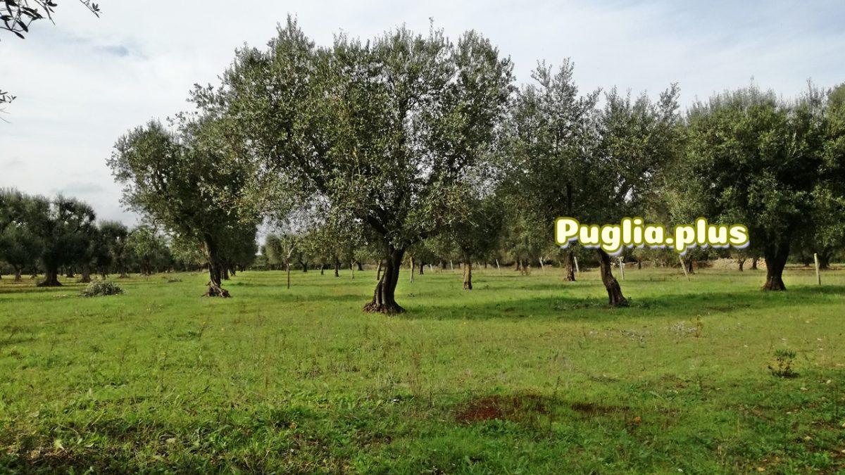 Apulien im Herbst: Badeurlaub, Olivenernte und warme Tage
